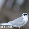 elkhorn safari-102  Forster's Tern  Sterna forsteri......winter plumage<br /> <br /> Big thanks to Edward Frost for ID