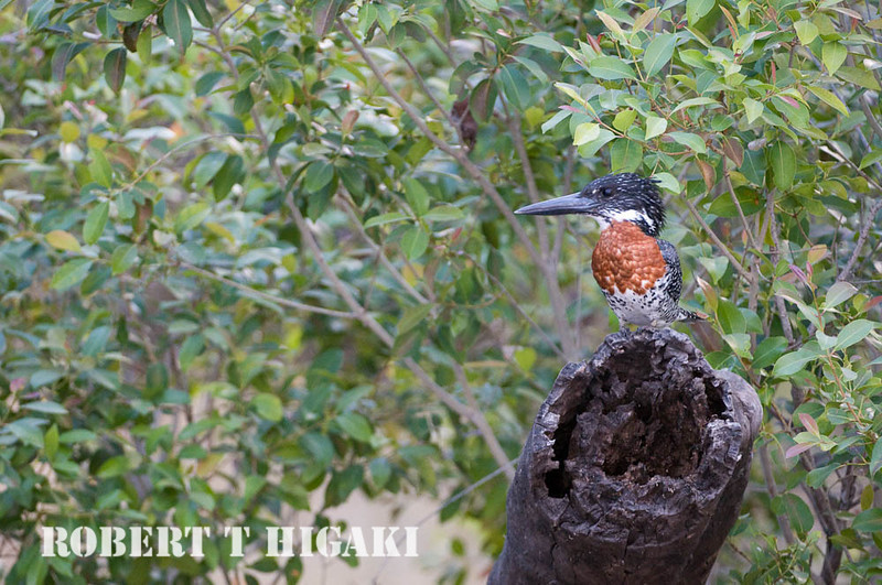 Giant Kingfisher( Megaceryle maximus)