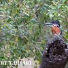 Giant Kingfisher( Megaceryle maximus)
