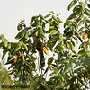 Giant Lizard Cuckoo