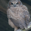 young great horned owl-6<br /> <br /> Every time this owl looks at me. i get the 'evil eyes'