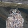 young great horned owl-3<br /> elkhorn slough