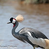 Grey Crowned crane( Balearica regulorum )