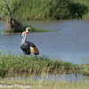 Grey crowned Crane ( Balearica regulorum )