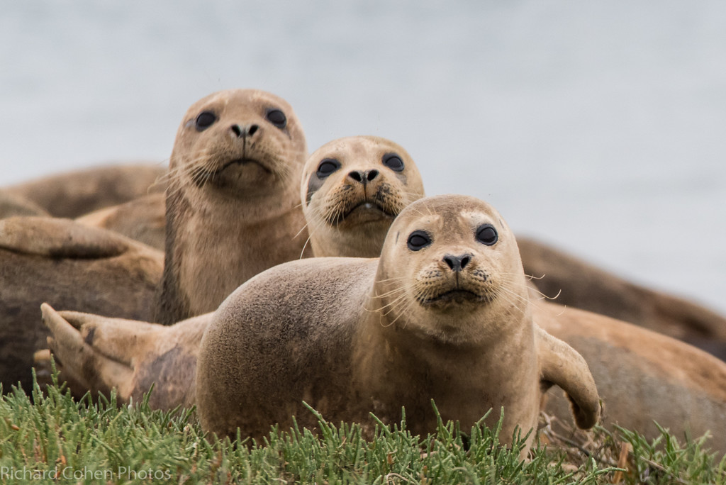 Sea lions in a row..