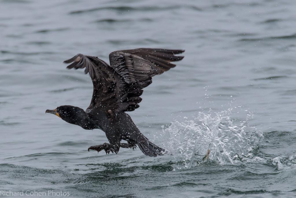 Cormorant taking off.