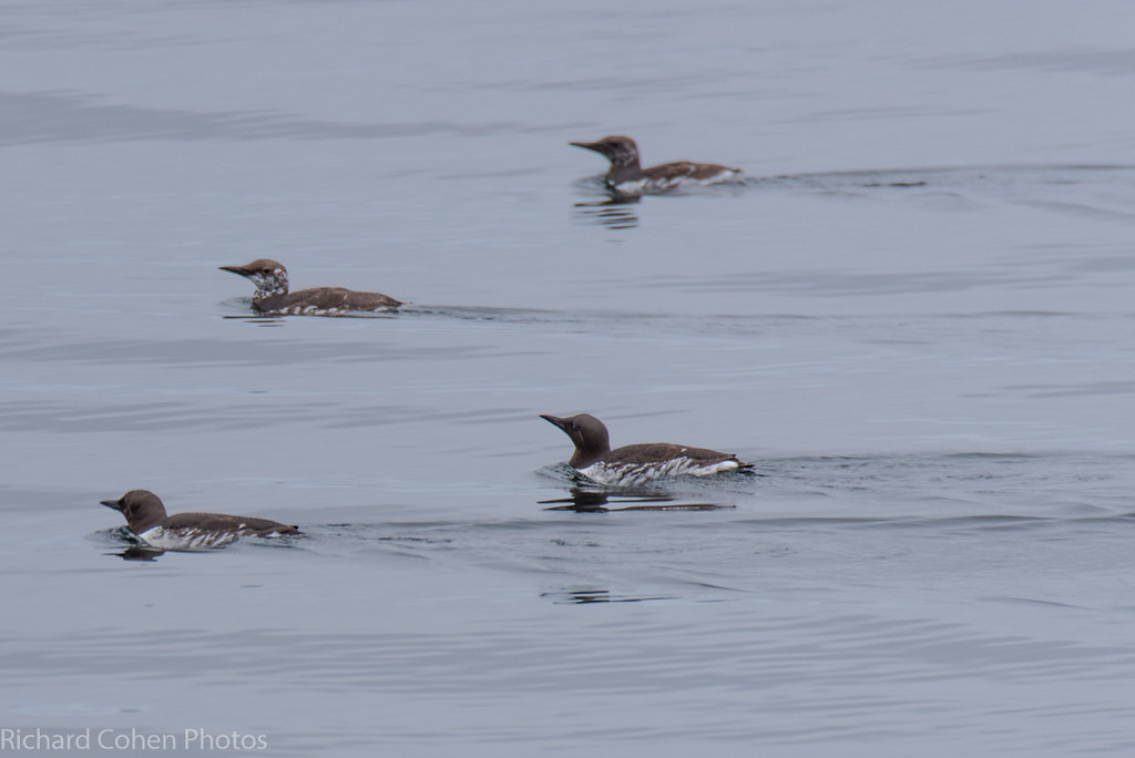 Group of Murres getting out of the way.