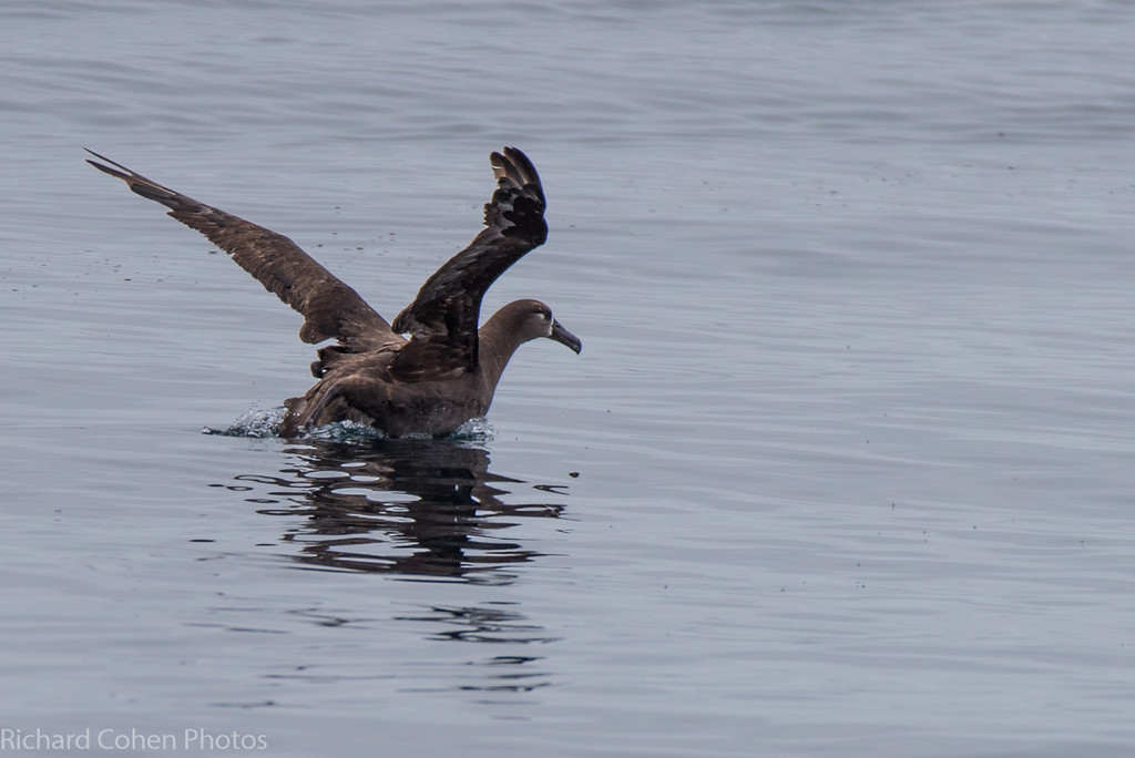 Albatross taking flight. First I have seen of these birds, which can have a 6 foot wingspan.