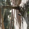 Female Hairy Woodpecker( large bill)