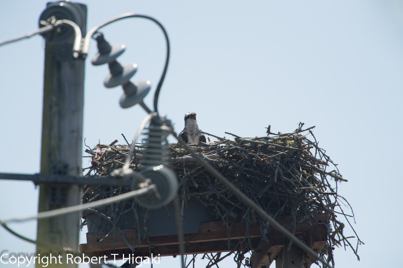 Shooting from the west side: you are closer but the power pole is in the way.<br /> <br /> Mother Osprey watching over the chicks