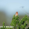 male House Finch( Carpodacus mexicanus )