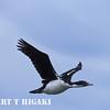King Cormorant( Shag)
