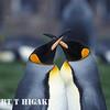 King Penguins- second largest species(Volunteer Point), East Falkland Island