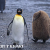 A parent leading a chick. ( back then, explorers thought the brown penguin was a different species)