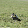 Kori Bustard; he is trying to attract a potential mate; There are females looking from a distance.