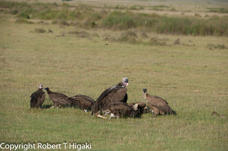 Lappet-faced Vulture or Nubian Vulture (Torgos tracheliotos) in the middle
