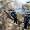 Laughing Kookaburras
