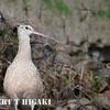 elkhorn safari-73  Long-Billed Curlew ( Numenius americanus )