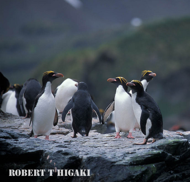 "Macaroni- crested penguins- Cooper Bay, South Georgia<br /> Eudyptes chrysolophus<br /> if you want to see more birds from this island ; click on this:<br /> <a href=""http://www.rxphotos.net/Animals/South-Georgia-Island/"">http://www.rxphotos.net/Animals/South-Georgia-Island/</a>"
