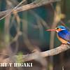 Malachite Kingfisher( alcedo cristata); shot off a boat on the Zambezi river.