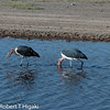 Marabou Stork-Leptoptilos crumeniferus