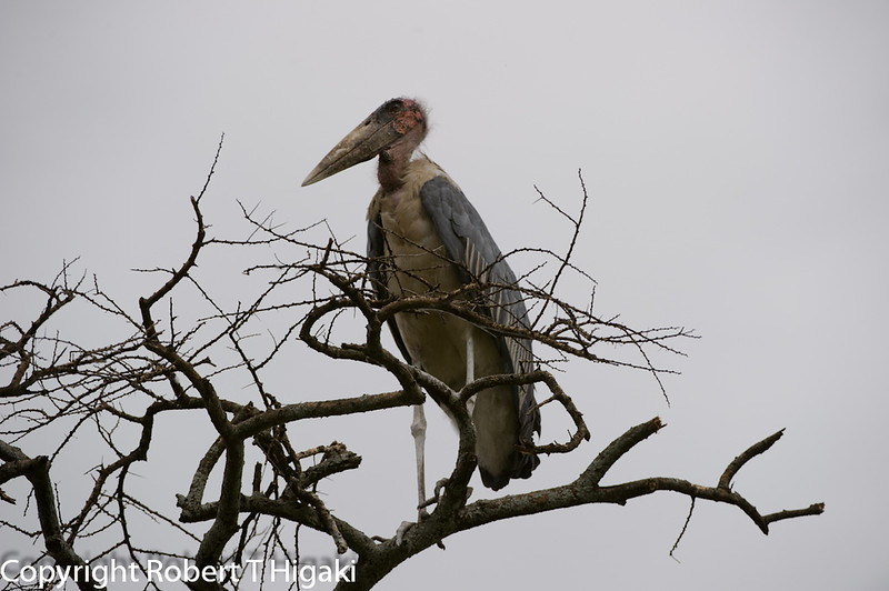 Marabou Stork-Leptoptilos crumeniferus<br /> This  is one ugly looking bird. could use a wig!