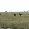 Ostrich ( Struthio camelus )