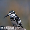 Pied Kingfisher( Ceryle rudis)
