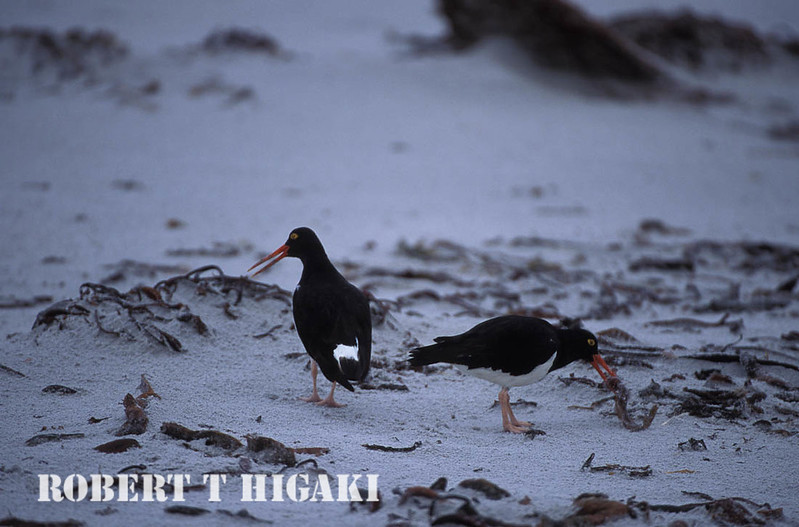 Pied Oystercatcher( haematapus leucopodus) locally know as the Magellanic Oystercatcher