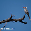 Red-Billed Hornbill ( Tockus erythrorhynchus)