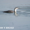 Red- throated Loon, adult non- breeding