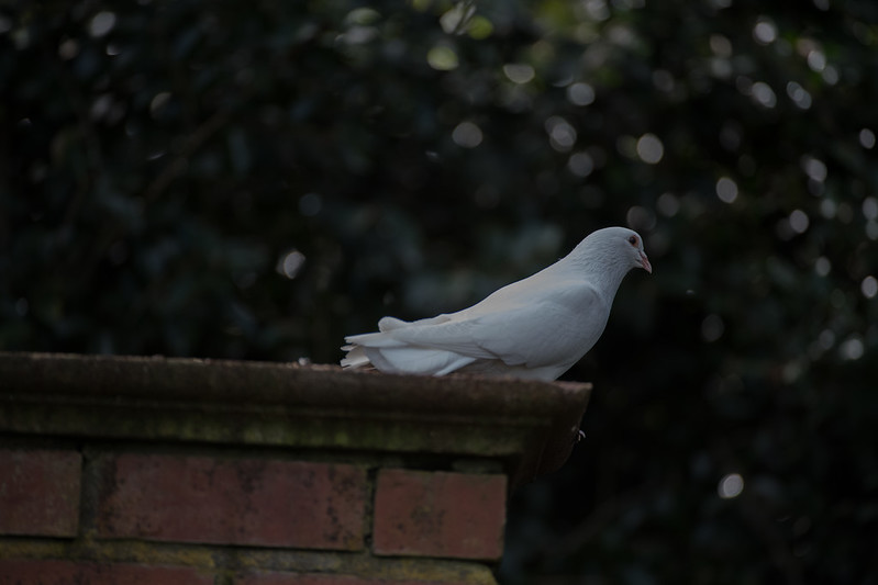 Rock(Feral) Pigeon