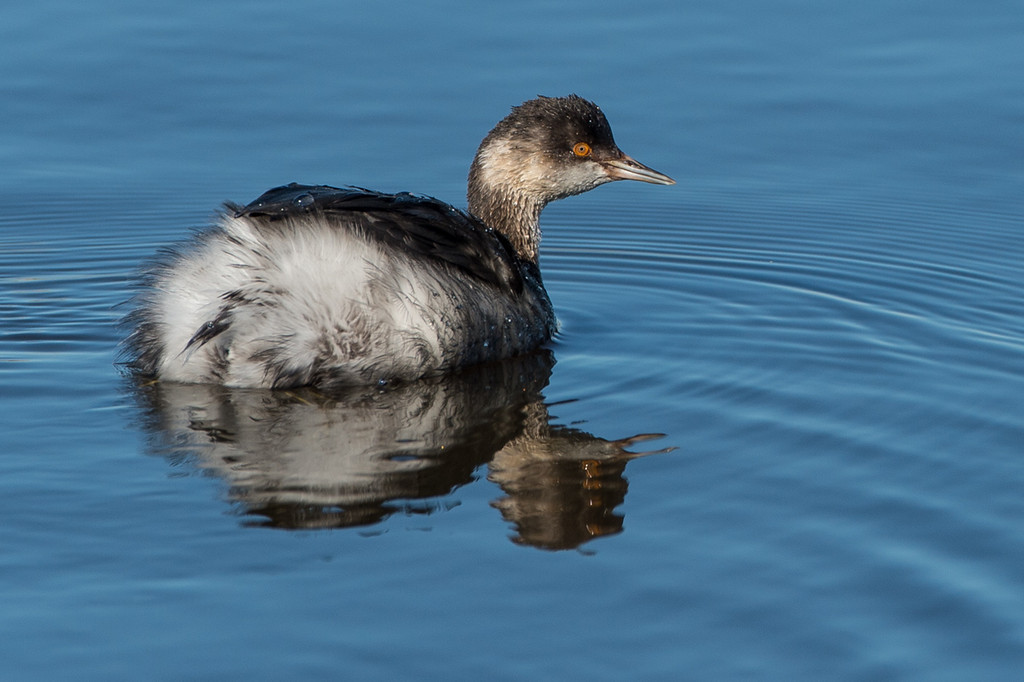 Young Grebe..