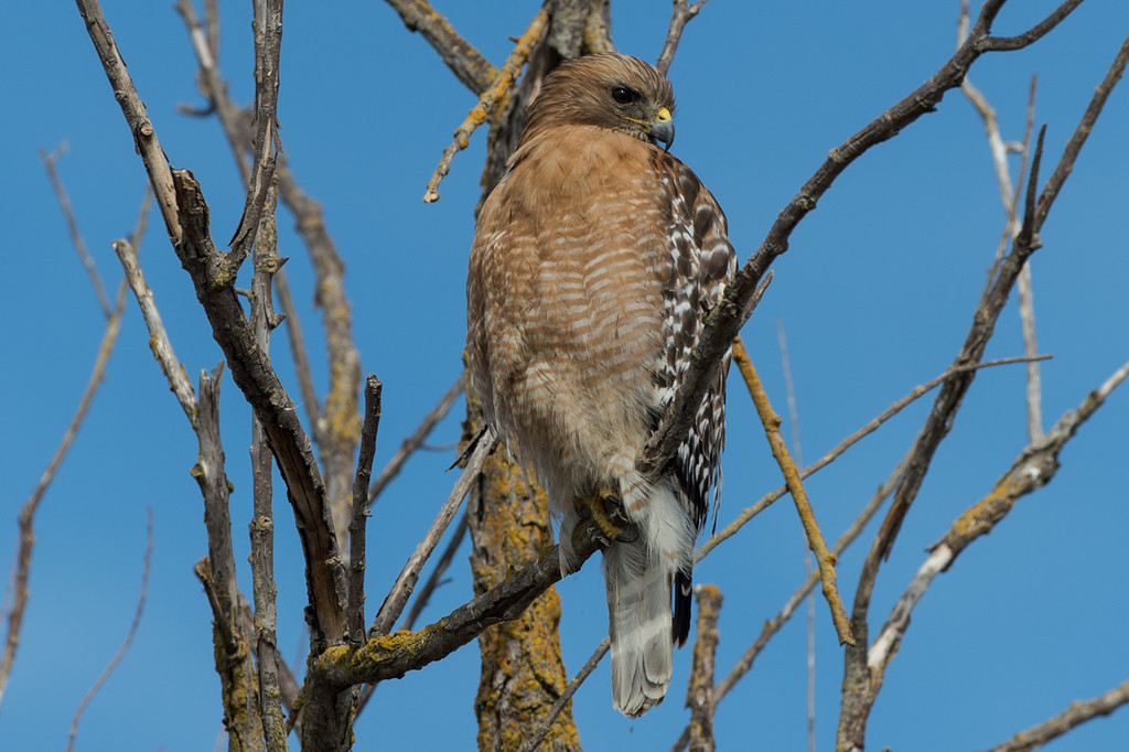 I think another Cooper's Hawk..