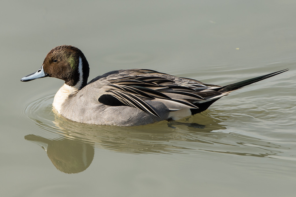 Northern Pintail (this is a duck)..:)