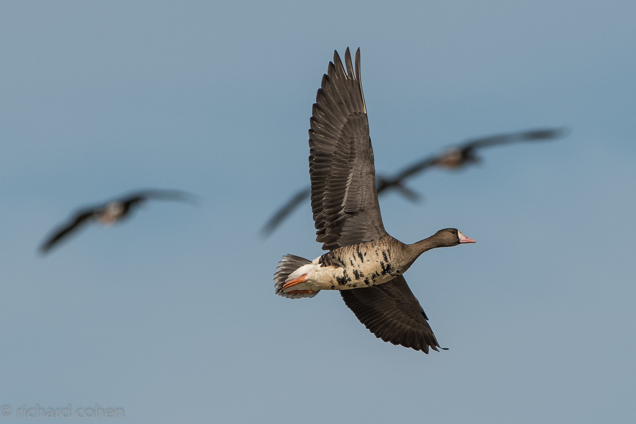 White fronted goose in flight.