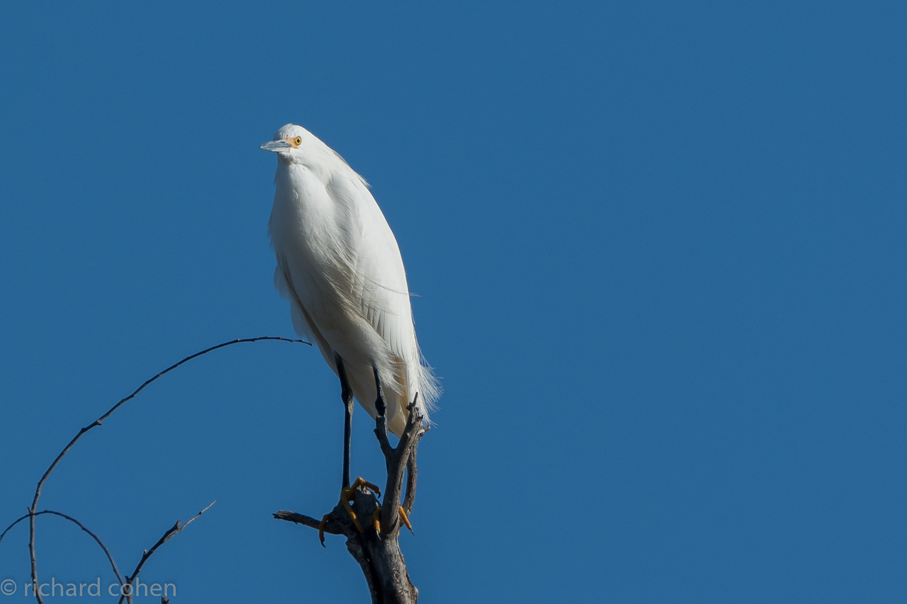 Why is an egret on top of a tall tree? Not sure the bird knows either.
