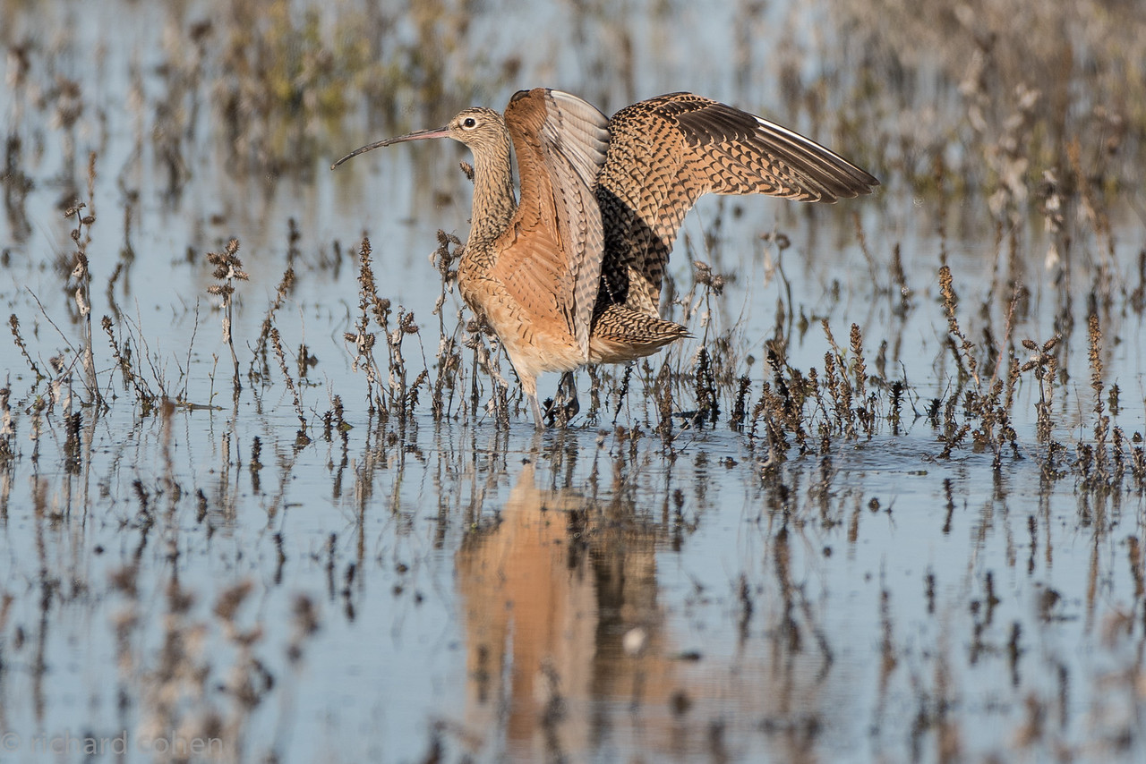 Curlew after landing.