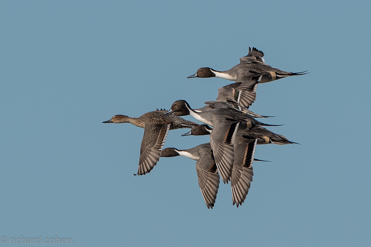 The 'grey angels'....formation flying, northern pintail duck style.