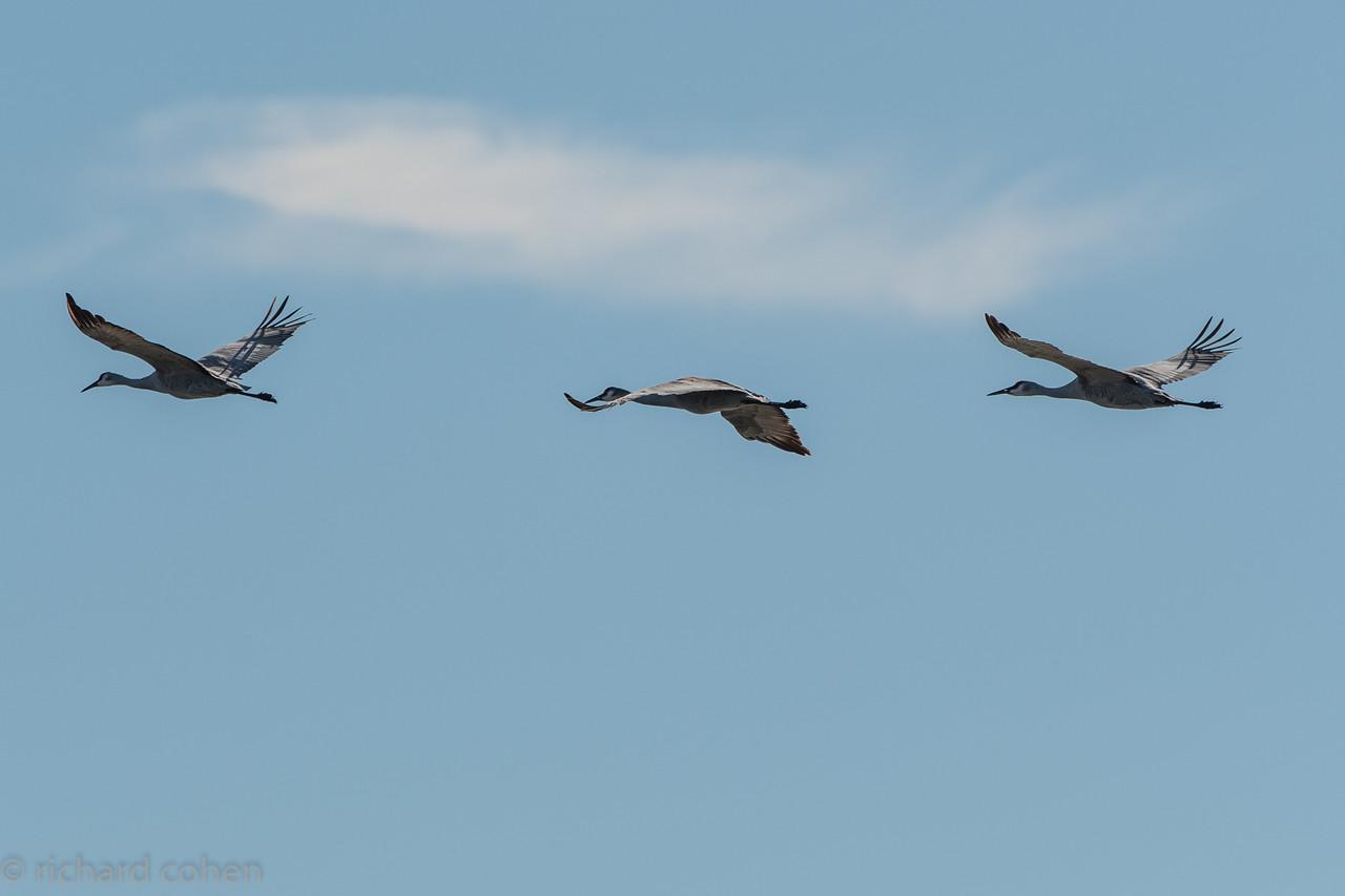 Sand hill cranes in flight...very cool birds.