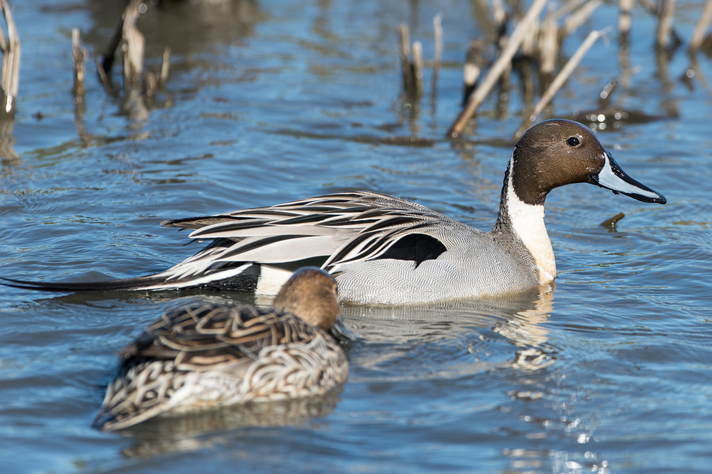 Beautiful pintail ducks.