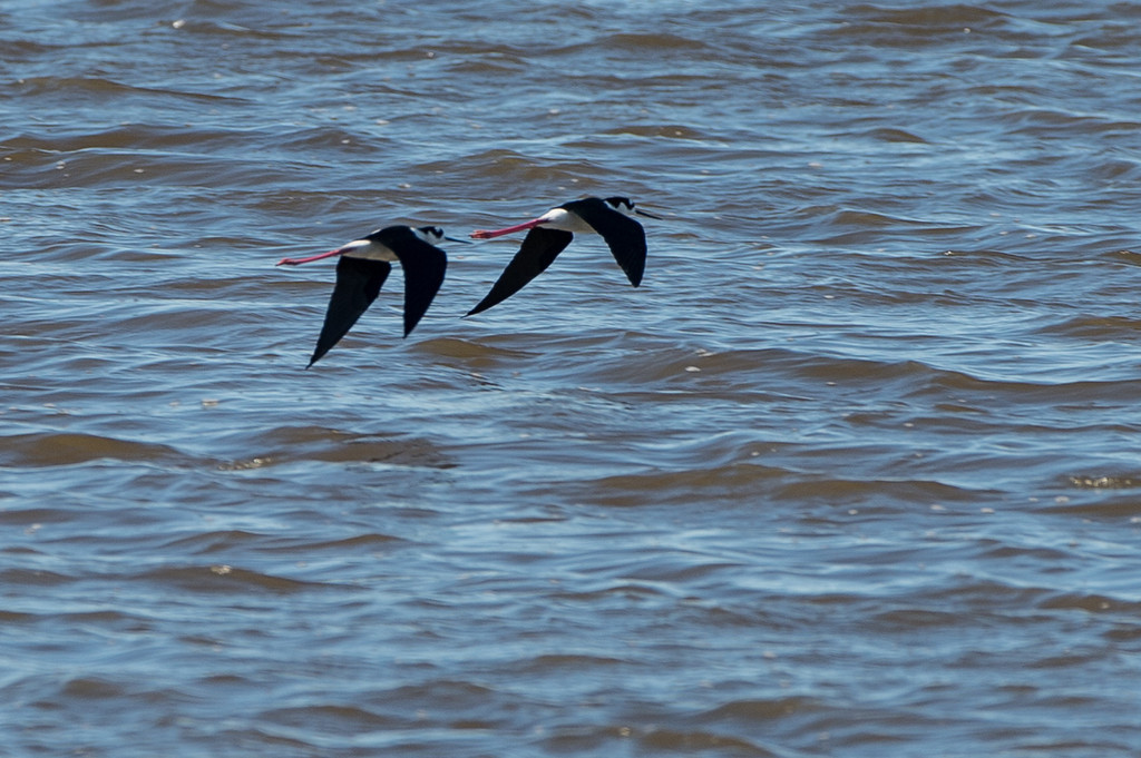 Some black necked stilts flying along the pond. This image was almost really good, but is not quite in focus and at very long range.  i thought it was worth showing anyway.