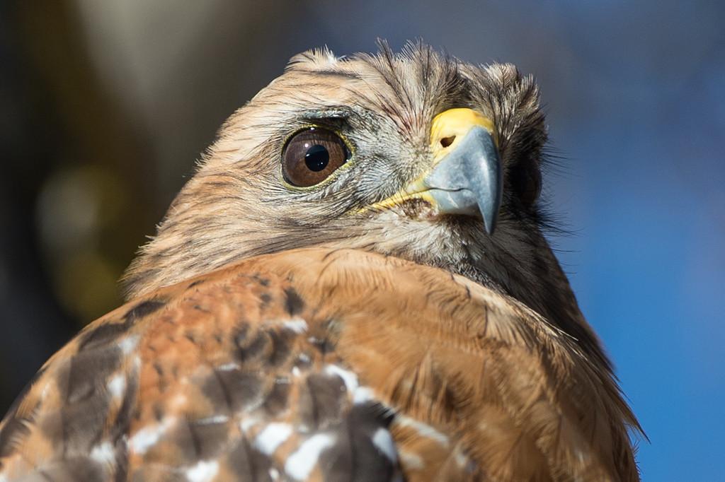 Red shouldered hawk up close.