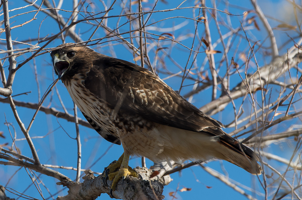 Red tailed hawk crying.