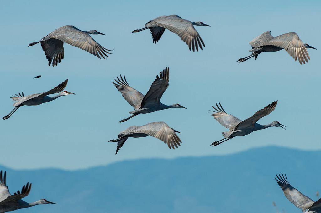 Sand hill cranes in flight.