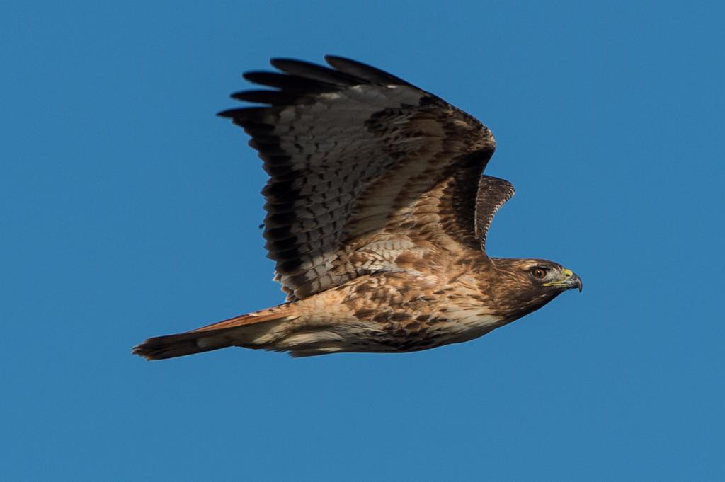 Red tailed hawk in flight.