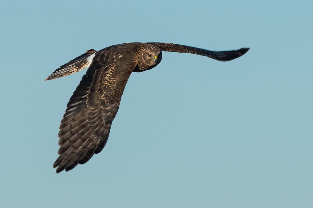 Harrier in flight.
