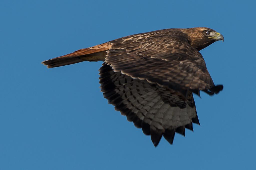 Red tailed hawk in flight blinking.