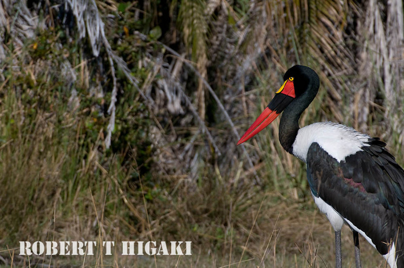Saddle-Billed Stork( Ephippiorhynchus senegalensis) female