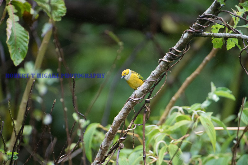 Silver-thoated Tanager